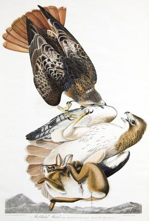 "John James Audubon original vintage print for sale, ""Red Tail Hawk"", Plate 51 from The Birds of America, hand-colored, aquatint, engraving, 1827-1839"